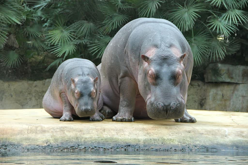 Mother and baby hippo sitting side by side