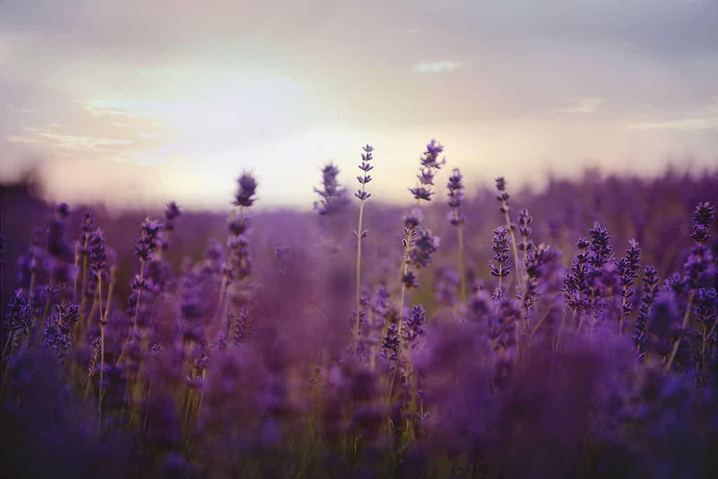 A lavender field in full bloom